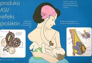 Gambar 1. Proses produksi ASI/ refleks prolaktin