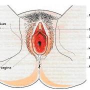 Genetalia Esternal Wanita